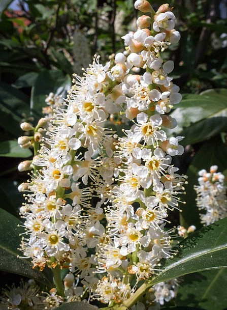 Cherry Laurel Landscapes Floret Nature Nature Coun