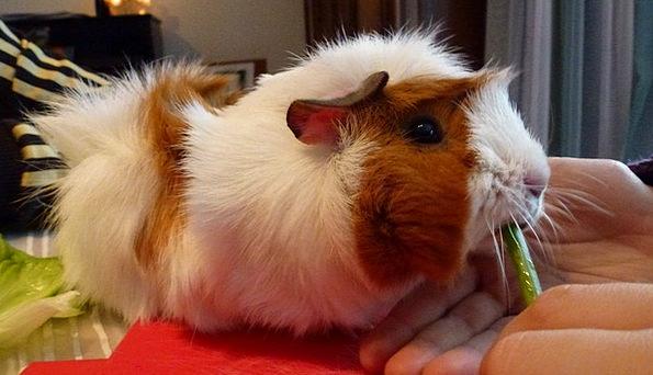 Guinea Pig Guinea Pig House Rodent