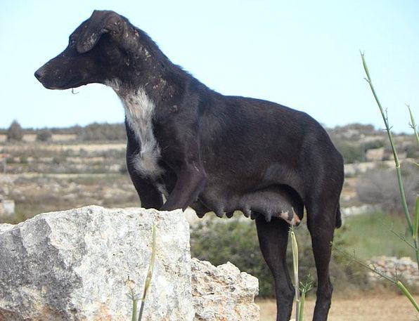 Dog Canine Protectors Guard Protector Guards Vigil