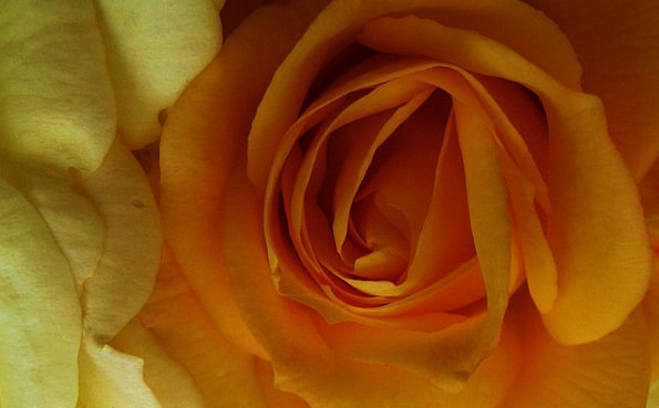 Roses Designs Carroty Yellow Creamy Orange Curly F