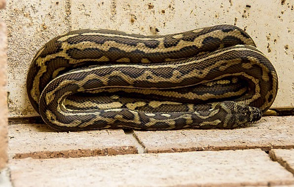 Carpet Python Textures Backgrounds Coiled Wound Py