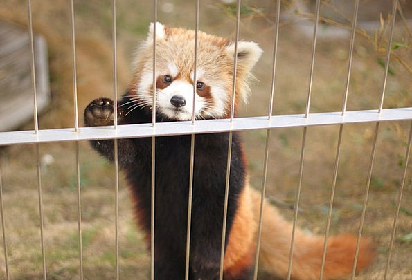 Red Panda Menagerie Cute Animals Zoo