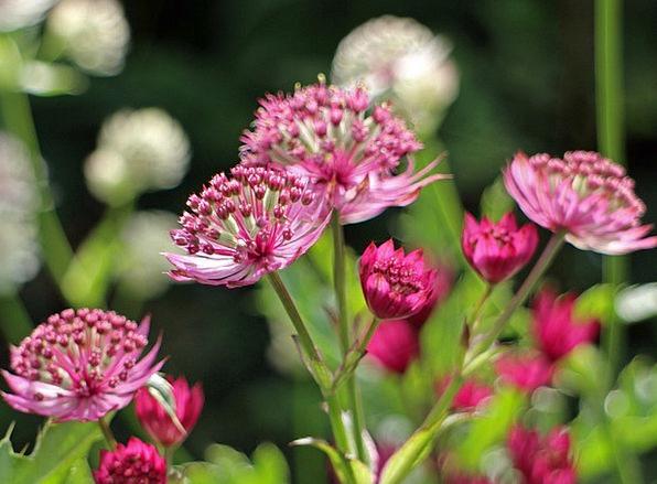 Flower Floret Landscapes Nature Masterwort Pink Ma