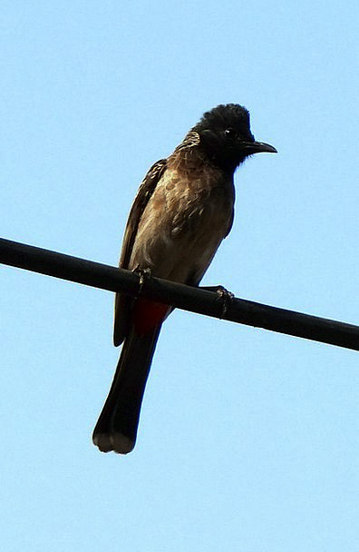 Red-Vented Bulbul Dharwad Pycnonotus Cafer Wild In