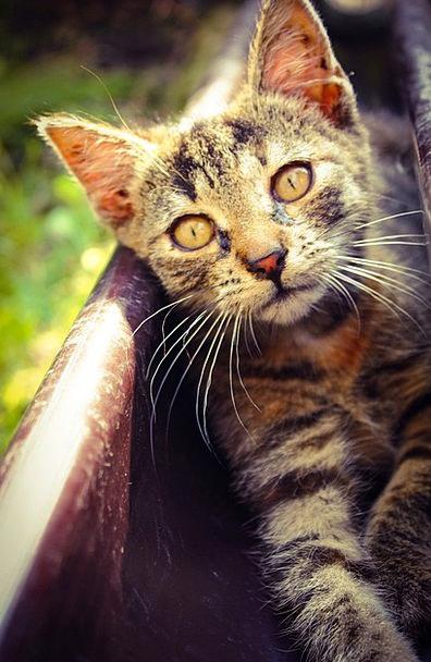 Cat Feline Domesticated Kitten Pet Eyes Animal Phy