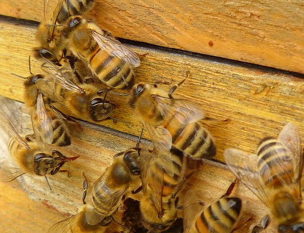 Bees Apis Mellifera Honey Bees Insect Bug Beehive