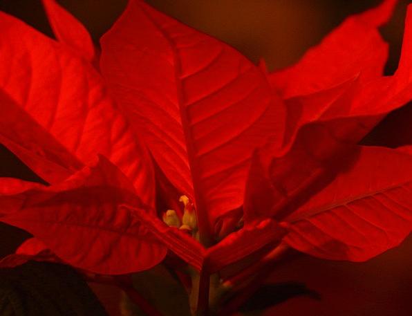 Poinsettia Pulcherrima Euphorbia Red Adventsstern