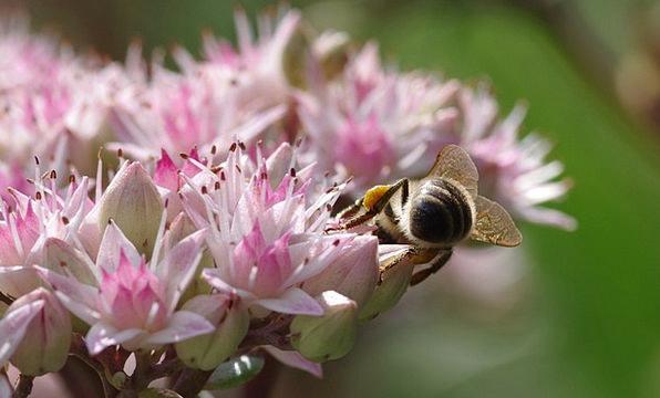 Bee Landscapes Nature Pollen Stonecrop Plant Honey