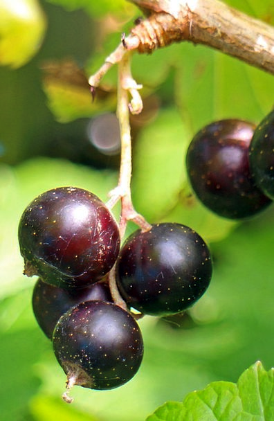 Black Currant Drink Food Fruit Ovary Ribes Nigrum