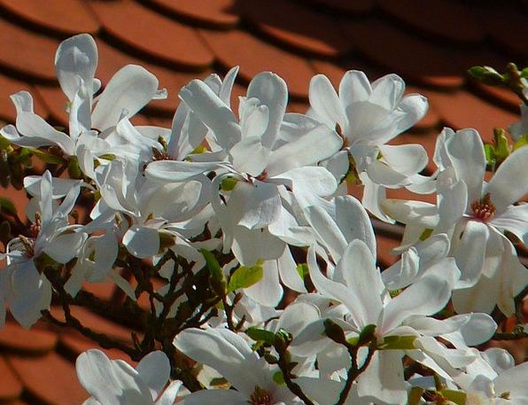 Magnolia Tree Sapling White Blossom Flower Floret