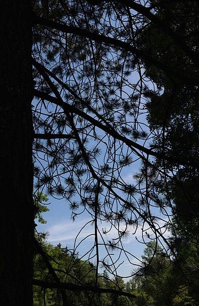 Black Pine Sapling Conifer Tree Forest Tree Needle