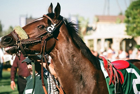 Thoroughbred Pedigree Polo Race Horse Rural Horses