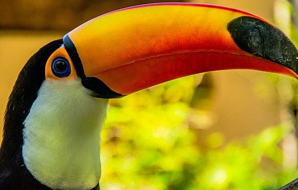 Toucans Fowl Bird