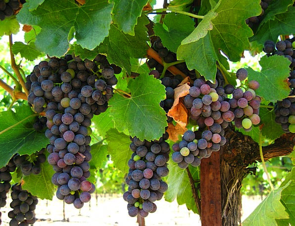 Grapes Drink Ovary Food Nature Fruit Organic Carbo