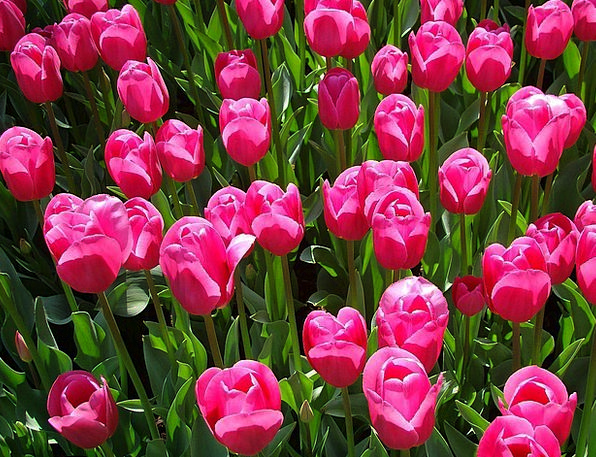 Tulips Flushed Flower Floret Pink Flora Vegetation