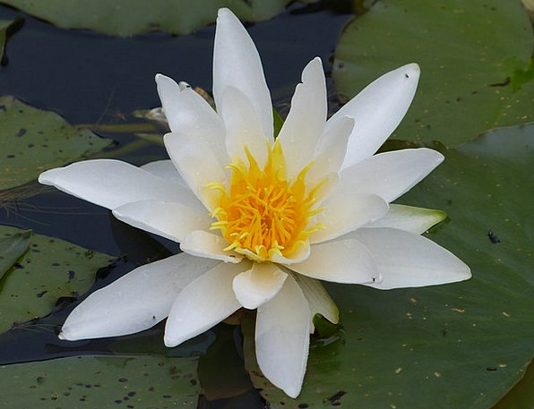 Water Lily Landscapes Nature Water Aquatic Pond Pl