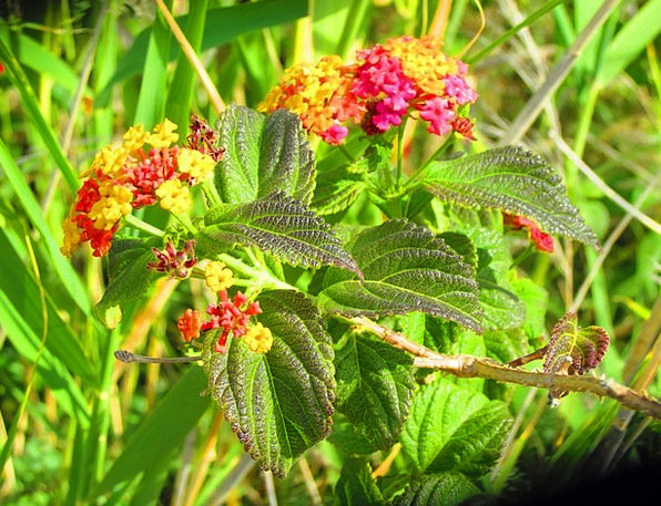 Lantana Landscapes Plants Nature Grasses Lawns Flo