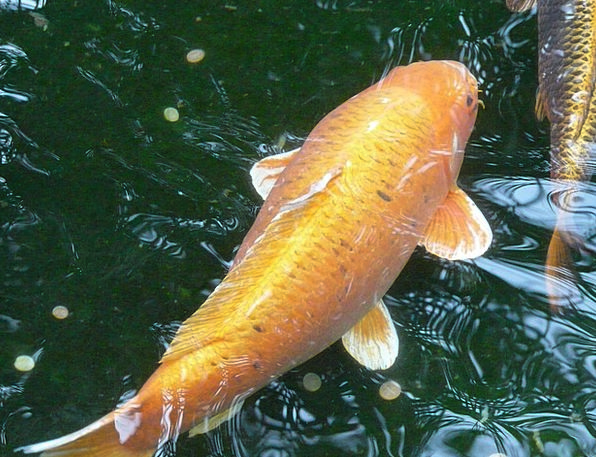 Goldfish Aquatic Fish Angle Water Creature Being S
