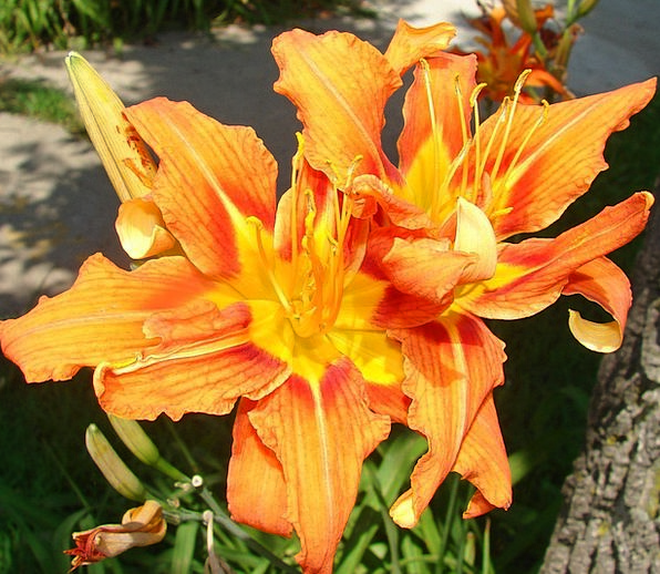 Kwanzo Landscapes Nature Orange Carroty Daylily Fl