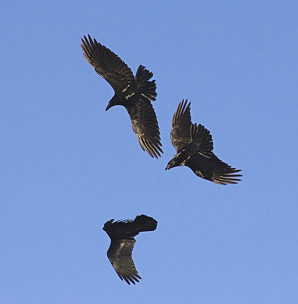 Raven Scoff Azure Black Dark Blue Flying Bird Fowl