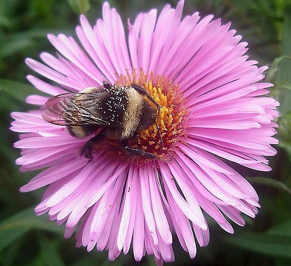 Hummel Floret Pollen Flower Garden Plot Summer Str