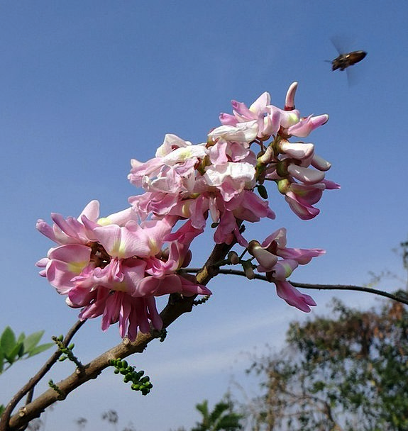 Mexican Lilac Floret Blue Sky Flower Wild Bee Ante