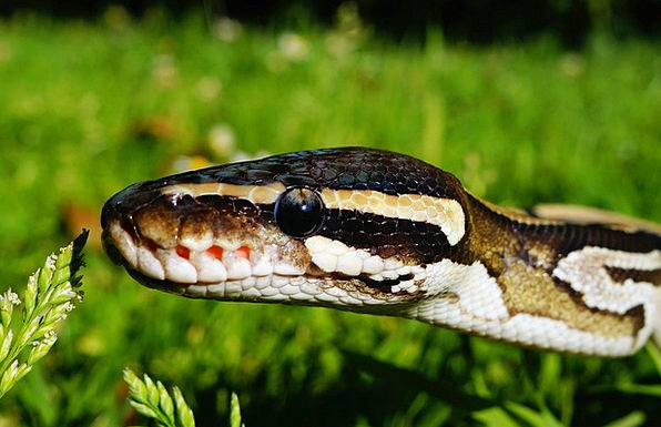 Snake Serpent Mojave Python Hunger Wilderness Wast