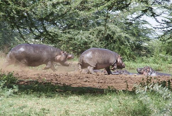 Hippos Landscapes Nature Plash Tanzania Nature Cou