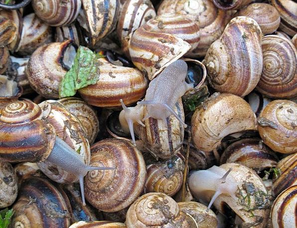 Snails Delicacy Fragility Escargot