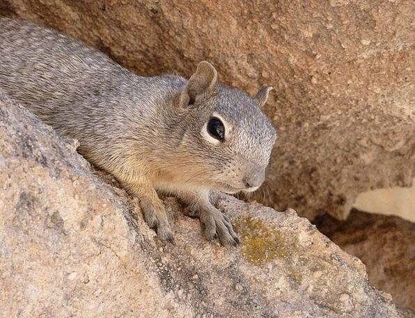 Gopher Animal Physical Ground Squirrel Desert Rewa