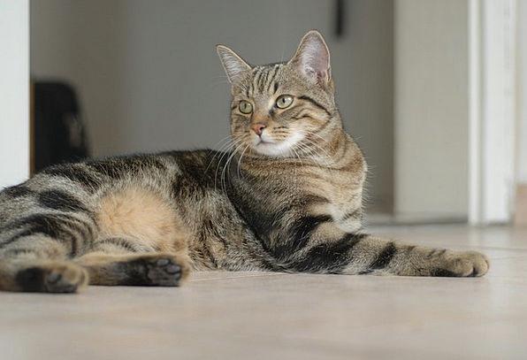 European Shorthair Feline Catlike Cat Looking Celt