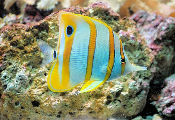 Butterflyfish Vacation Angle Travel Tropical Hot F