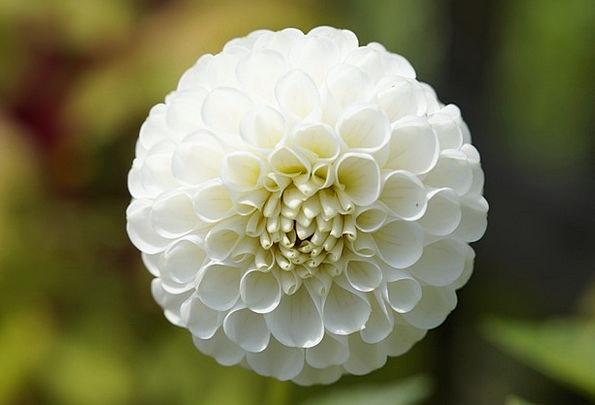 Dahlia-Ball-Globose-Ornamental-Plant-Free-Image-Wh-5920