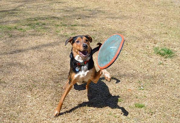 Dog Fetch Make Frisbee Mutt Jump Hurdle Play Canin