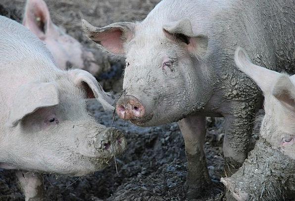 Pigs Cattle Pig Mud Mire Swine Dirty Dirt Grime Na