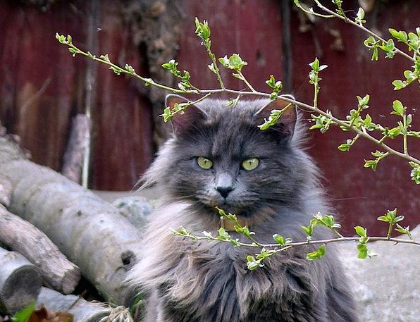 Animal Physical Feline Catlike Cat Long Haired Att