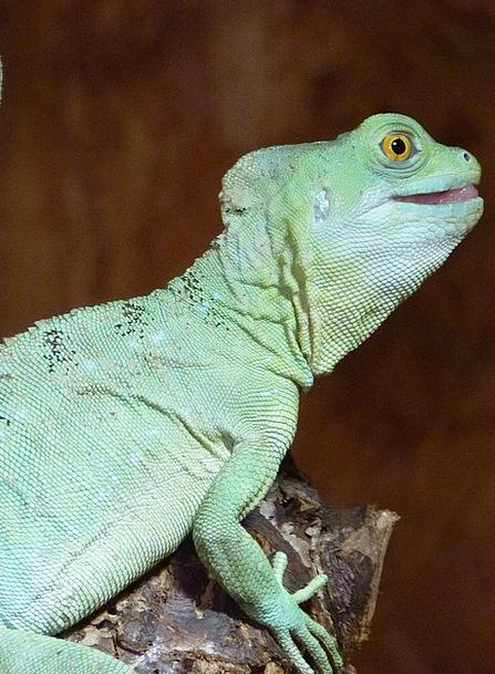 Chameleon Trimmer Reptile Chamaeleonidae Animal Ph