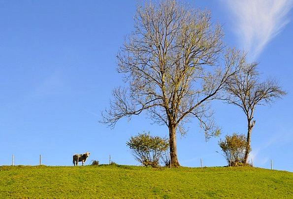 Cow Intimidate Sapling Sky Blue Tree Blue Sky Autu