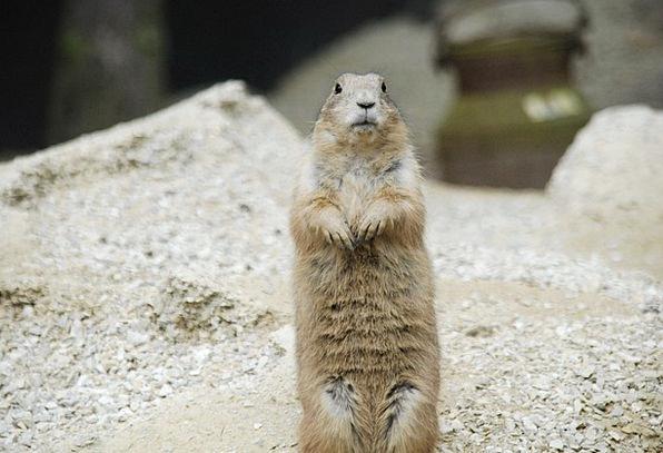 Prairie Dog Sand Shingle Rodent