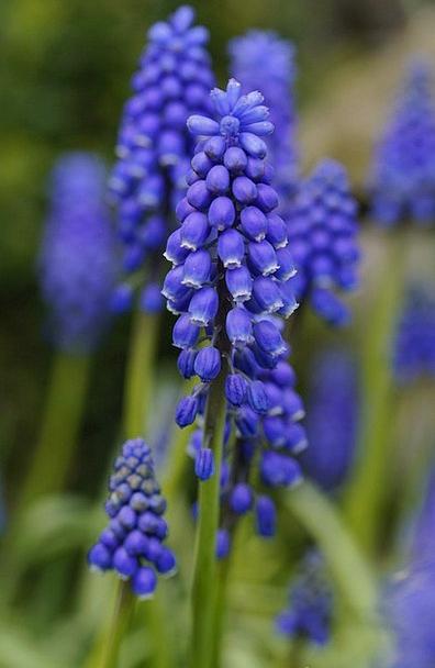 Hyacinth Floret Blue Azure Flower Grape Hyacinth T