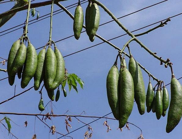 Silk Cotton Nut Landscapes Enthusiast Nature Silk