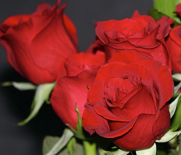 Red Roses Bud Flowers Plants Rosebud Fragrant Perf
