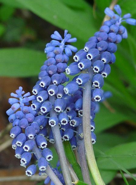 Vineyard Traubenhyazinthe Floret Bloom Flower Musc