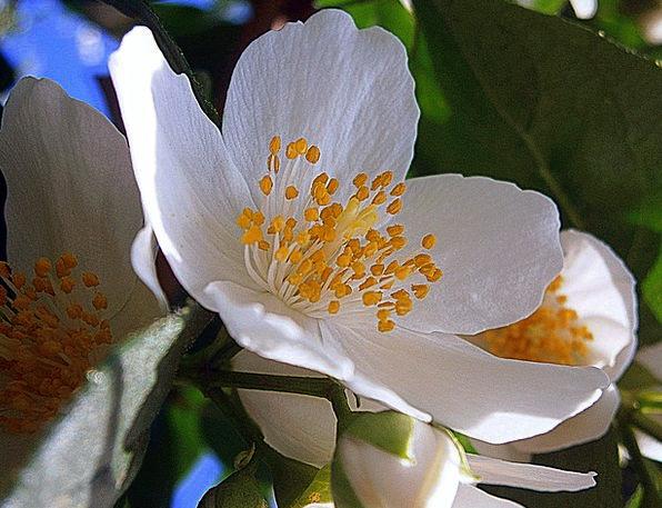Summer Jasmine Landscapes Nature Mock Orange Bauer