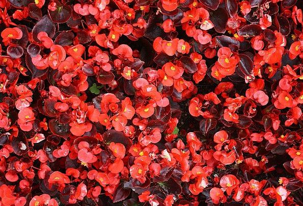 Begonia Landscapes Floret Nature Plant Vegetable F