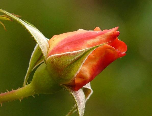 Rose Design Flower Floret Rosebud Beautiful Lovely