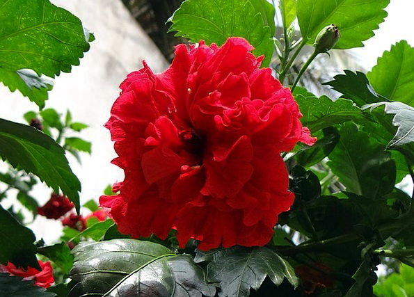 China Rose Rosa Sinensis Hibiscus Double Shoe Flow