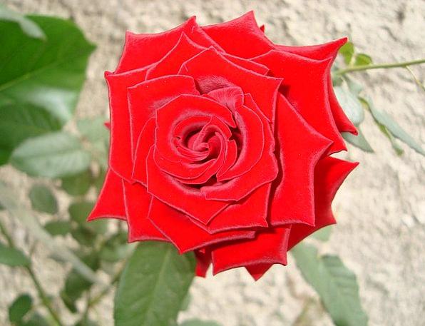Red Rose Floret Garden Plot Flower