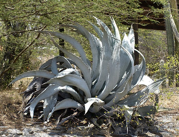 Agave Landscapes Vegetable Nature Prickly Touchy P