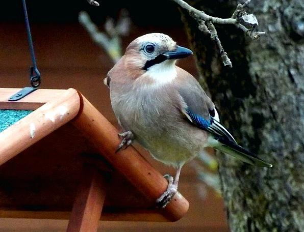 Jay Fowl Songbird Bird Wing Raven Bird Bird Feedin